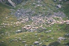 moutons de montagne carpathienne en été - effet de film de vintage Photographie stock