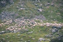 moutons de montagne carpathienne en été - effet de film de vintage Photo libre de droits