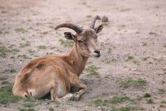 Moutons de montagne d'Ustuyrt Photos stock