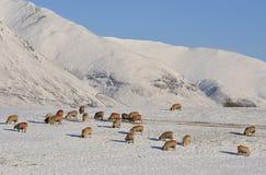 Moutons de montagne de l'hiver Photographie stock libre de droits