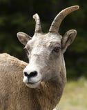 Moutons de montagne de roche Images stock