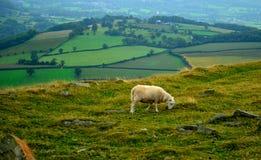 Moutons de montagne de Tableau Photographie stock libre de droits