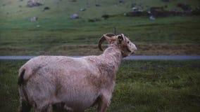 Moutons de montagne marchant sur seul le champ Animal de ferme frôlant sur le pré avec l'herbe verte en Islande clips vidéos