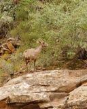Moutons de montagne rocheuse Photographie stock libre de droits