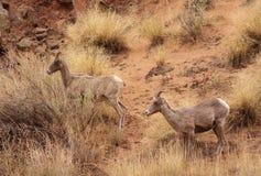 Moutons de montagne rocheuse Images stock
