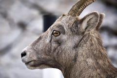 Moutons de montagne rocheuse Photos libres de droits