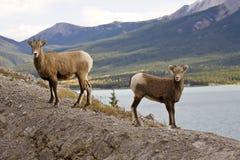Moutons de montagne rocheuse Images libres de droits