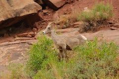 Moutons de montagne rocheuse Photographie stock