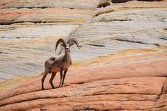 Moutons de montagne sauvages sur la roche en parc national Zion Photo stock