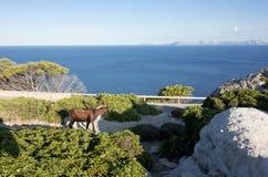 Moutons de montagne sur Cap de Formentor - belle côte de Majorca, Espagne - Europe Photo libre de droits