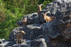 Moutons de montagne sur les roches Photo stock
