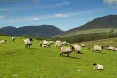 Moutons de montagnes de Connemara Photos libres de droits