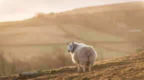 Moutons de Moorland Photos stock