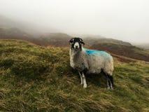 Moutons de Moorland photos libres de droits