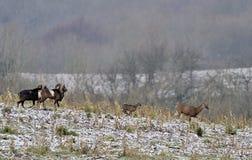 Moutons de Mouflon dans la campagne Image stock