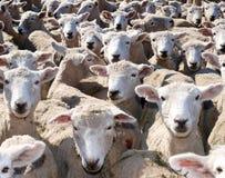 Moutons de moutons de moutons Photos libres de droits