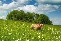 Moutons de paille sur le pâturage de ressort Images libres de droits