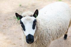 Moutons de panda Image libre de droits