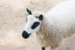 Moutons de panda Photo libre de droits