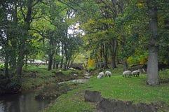 Moutons de parc national de vallées de Yorkshire frôlant par le bac de teinture photographie stock libre de droits