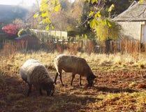 Moutons de pays d'amis Images libres de droits