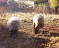 Moutons de pays d'amis Photos libres de droits