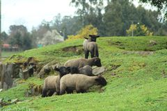 Moutons de Quillem 2019 photos stock