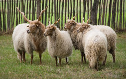 Moutons de Racka Images stock