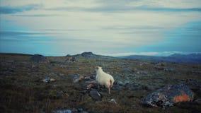 Moutons de Ram sur la montagne banque de vidéos