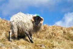 Moutons de regard fous sur la montagne Photographie stock