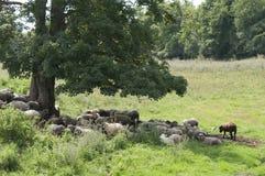 Moutons de repos Image stock