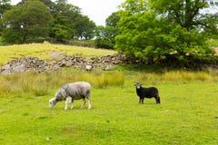 Moutons de scène de pays dans le secteur Cumbria Angleterre R-U de lac valley de Seatoller Borrowdale de champ Photos libres de droits