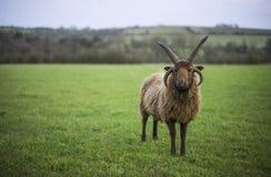 Moutons de Shetland Photos libres de droits