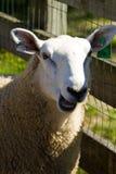 Moutons de sourire Image stock