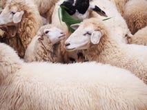 Moutons de sourire en troupeau à l'exploitation d'élevage Photographie stock libre de droits