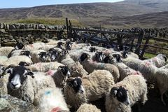 Moutons de Swaledale - vallées de Yorkshire - l'Angleterre Photographie stock libre de droits