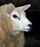 Moutons de Texel Photographie stock libre de droits