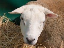 Moutons de Texel image stock