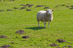 Moutons de Texel dans le domaine d'herbe abondant (1) Photo stock