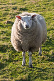 Moutons de Texel sur la zone d'herbe Photos stock
