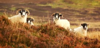 Moutons de visage noir Image libre de droits