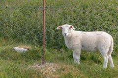 Moutons derrière des barres Images libres de droits