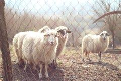 Moutons derrière une barrière à la lumière du soleil de matin regardant l'appareil-photo Photos libres de droits