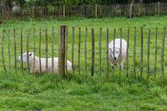 Moutons derrière une barrière en bois Photo libre de droits
