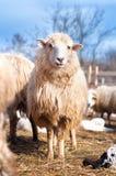 Moutons d'isolement dans le troupeau, mangeant l'herbe et le foin Photo stock