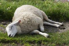 Moutons dormant en Norvège Photographie stock libre de droits
