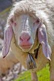 Moutons drôles regardant dans l'appareil-photo Photo libre de droits