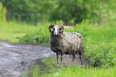 Moutons drôles avec les cheveux emmêlés se tenant sur la route Images libres de droits