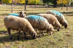 Moutons drôles identifiés par une peinture Images stock