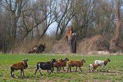 Moutons du Cameroun Photos stock